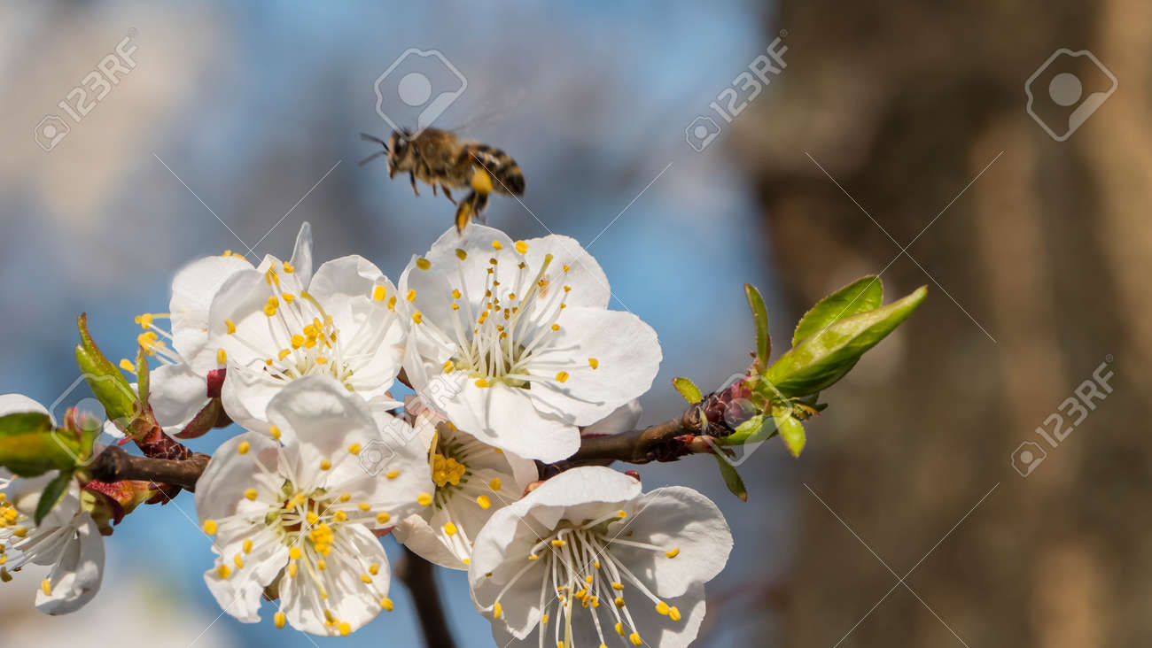 Bee collecting pollen on apricot blossom - 164859994
