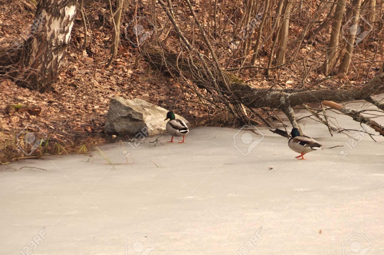 Two ducks walking on iced water near the hillside Stock Photo - 13298836