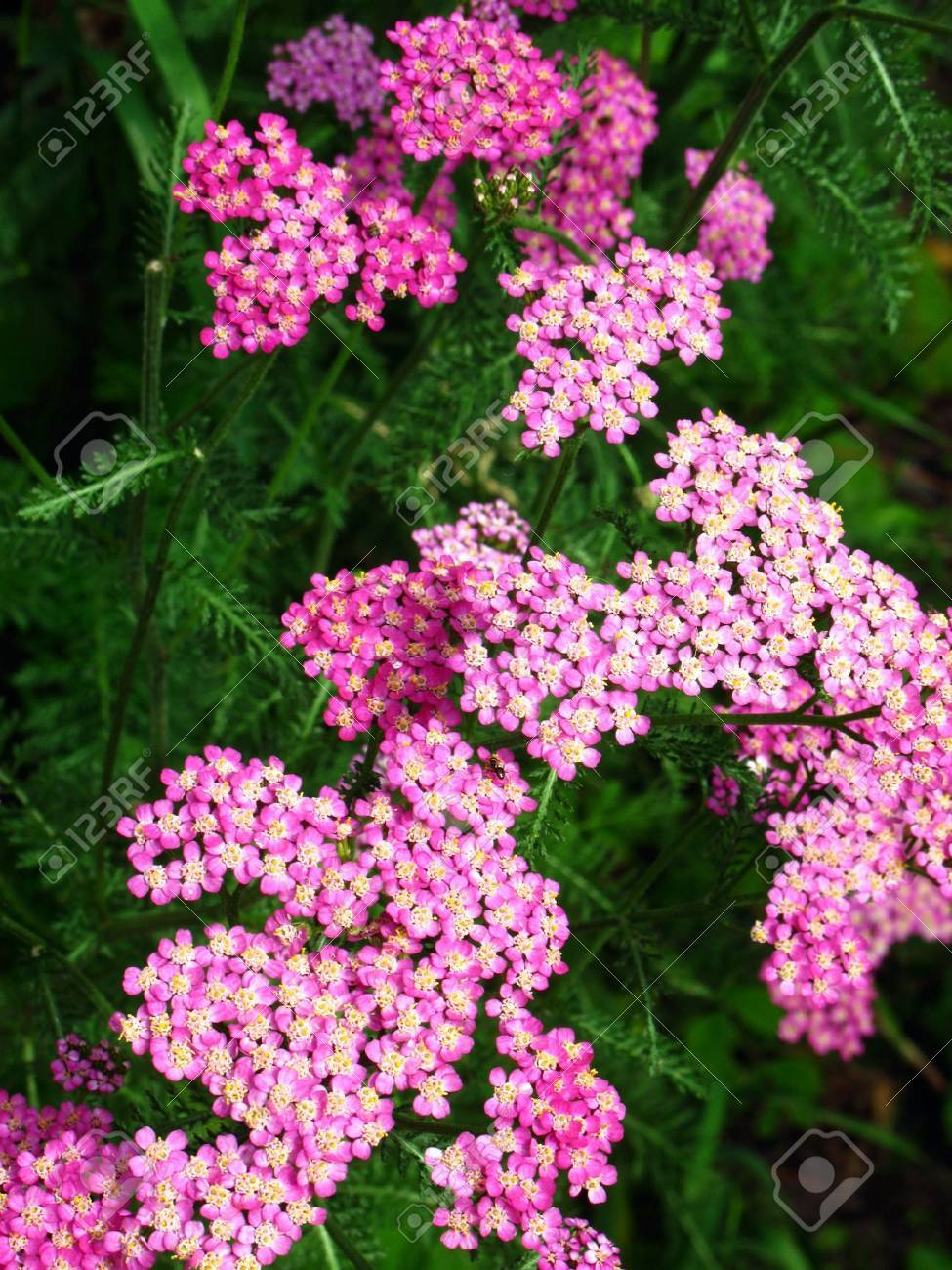 Milfoil flowers closeup in the summer garden Stock Photo - 5091202