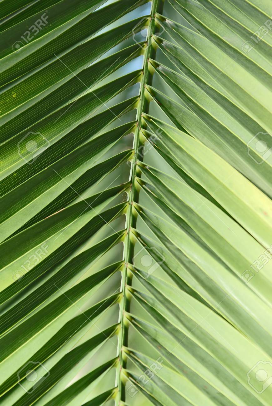 Extreme close up of a green palm leaf Stock Photo - 13165186