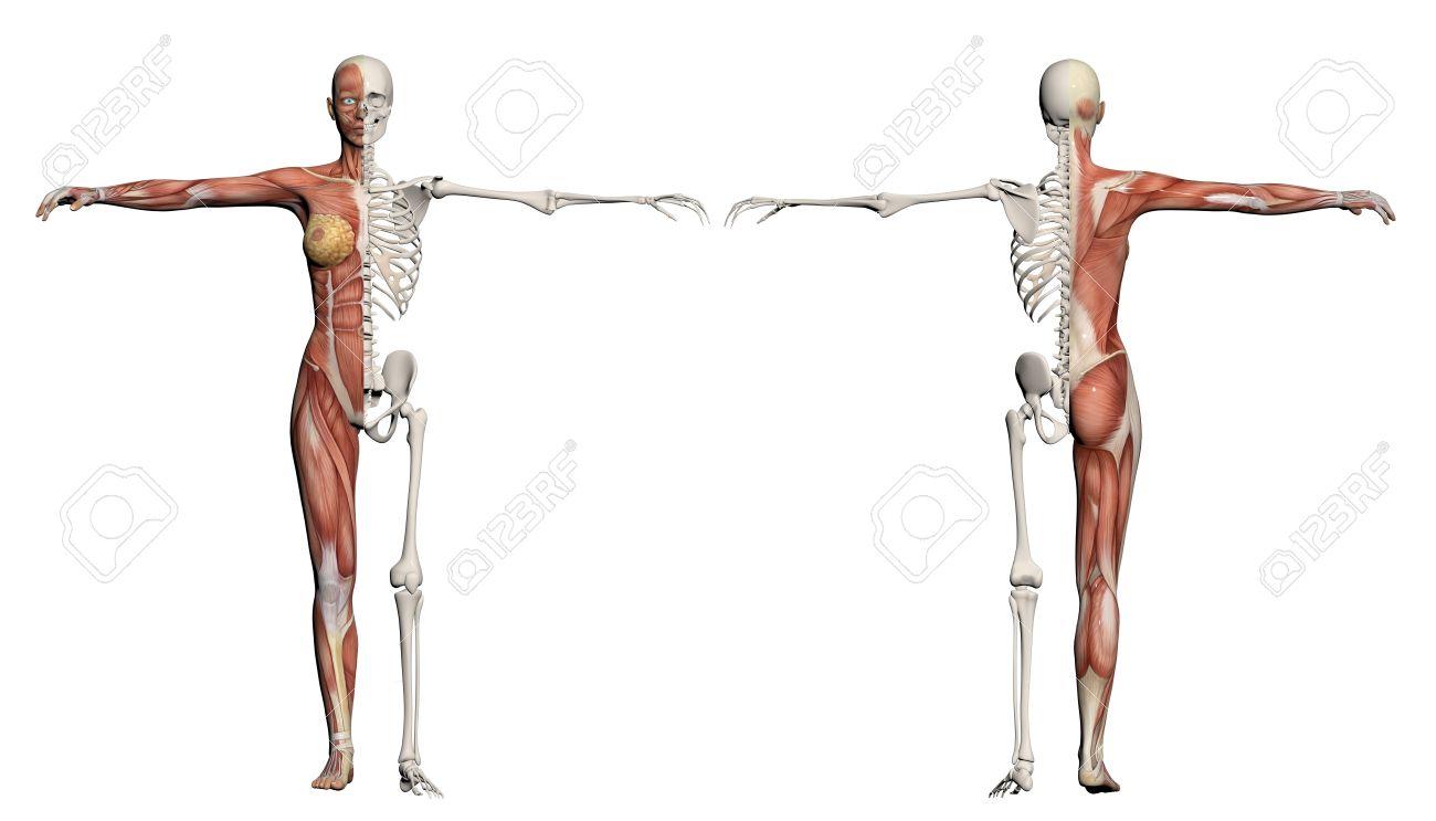 El Cuerpo Humano De Una Mujer Con Los Músculos Y El Esqueleto Hecha ...