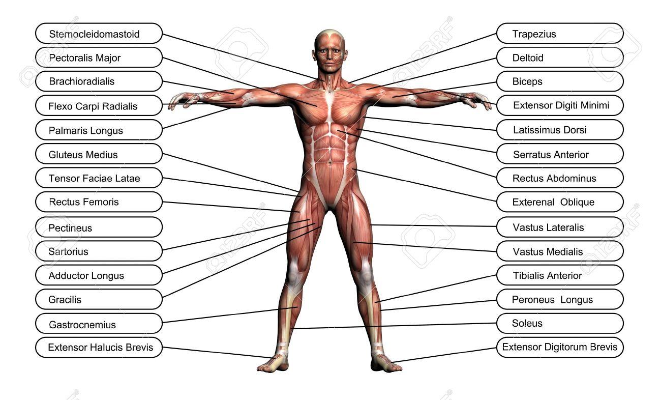 Hochauflösende 3D-Konzept Oder Konzeptionelle Menschliche Anatomie ...