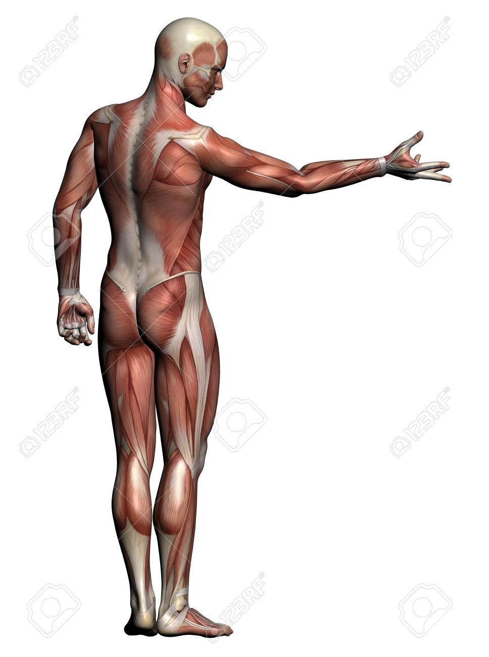 Lujo Anatomía Muscular Masculina Imágenes - Anatomía de Las ...