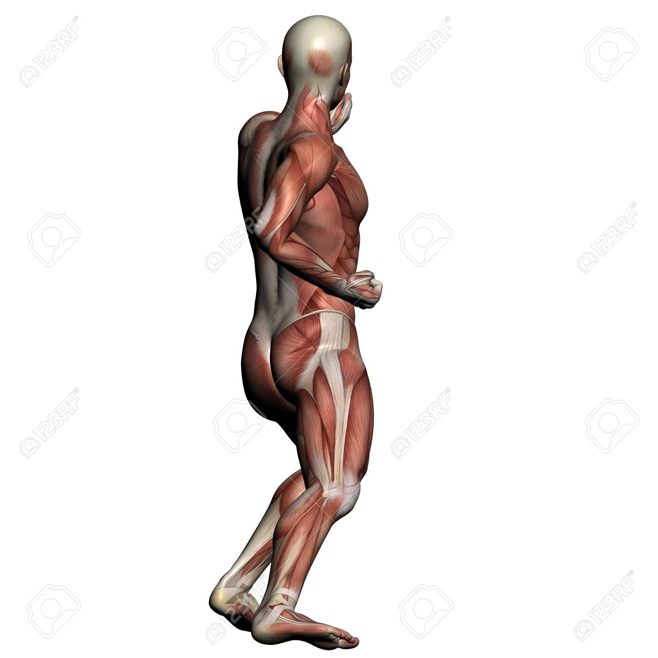 Human Anatomy Male Muscles Made In 3d Software Stock Photo