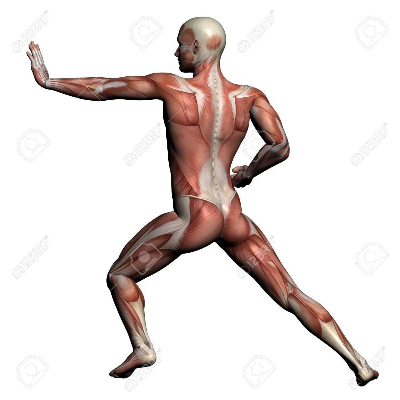 human anatomy - male muscles made in 3d software stock photo, Muscles