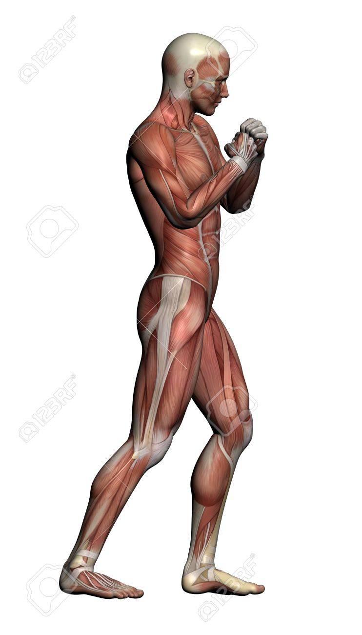 Human Anatomy - Male Muskeln In 3D-Software Gemacht Lizenzfreie ...