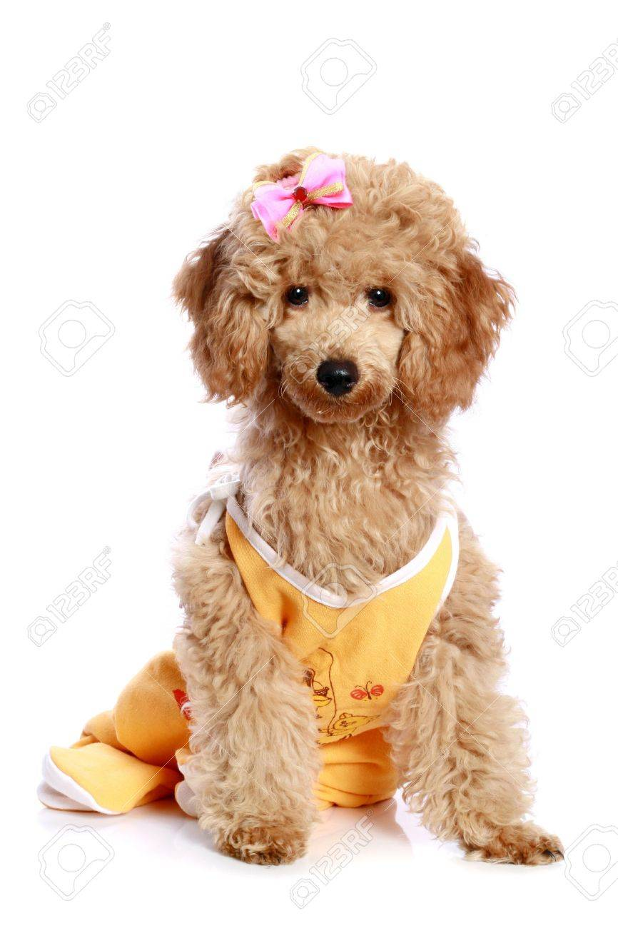 Apricot Poodle Puppy With A Bow On White Background