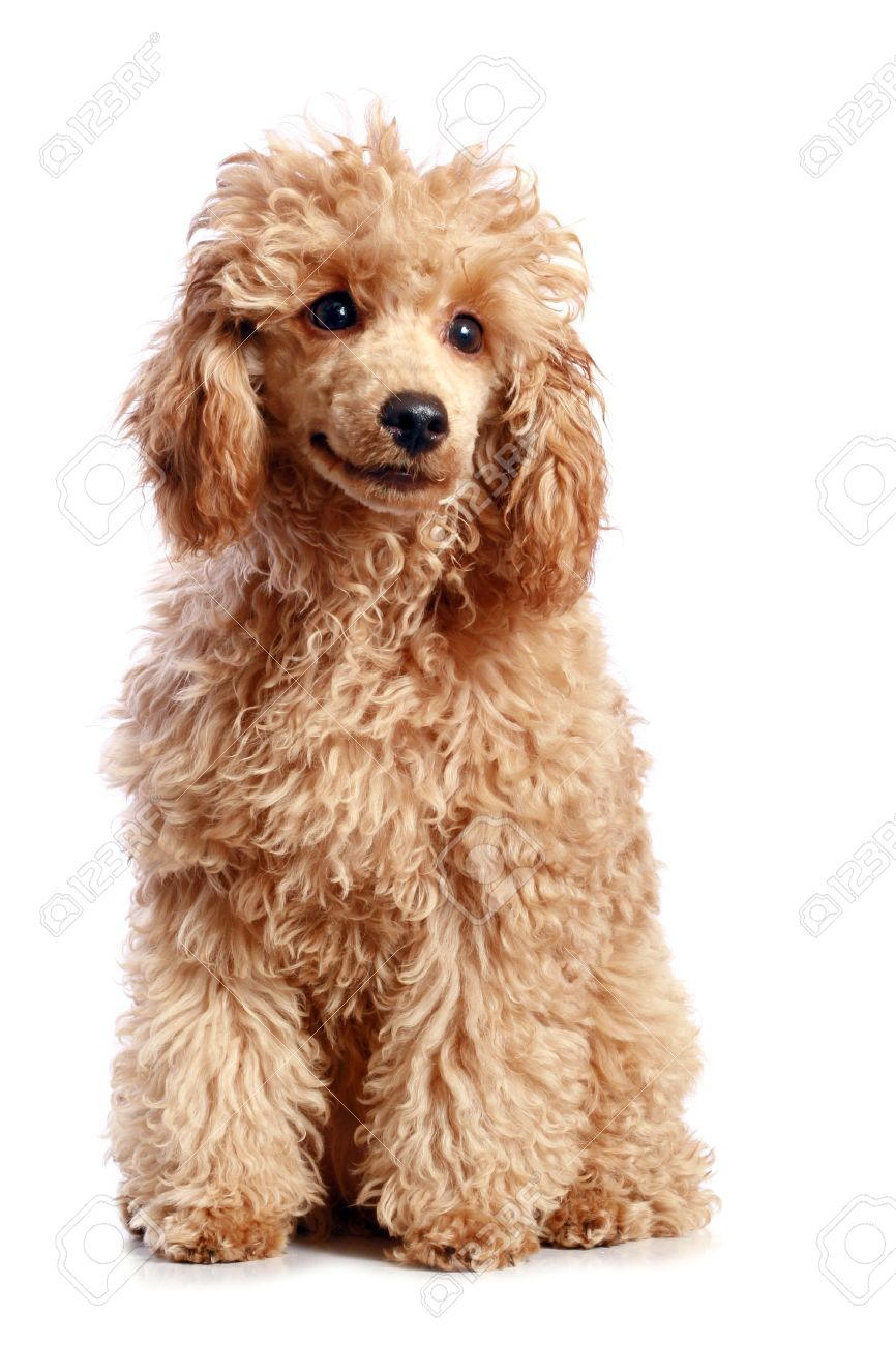 Apricot Poodle Puppy Isolated On White Background