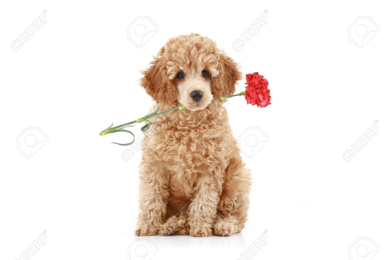 Apricot Poodle Puppy With Red Carnation Isolated On White Background