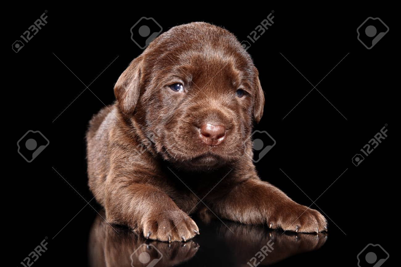 Chocolate Labrador Retriver Puppy On Black Background Baby Animal Stock Photo Picture And Royalty Free Image Image 112604237