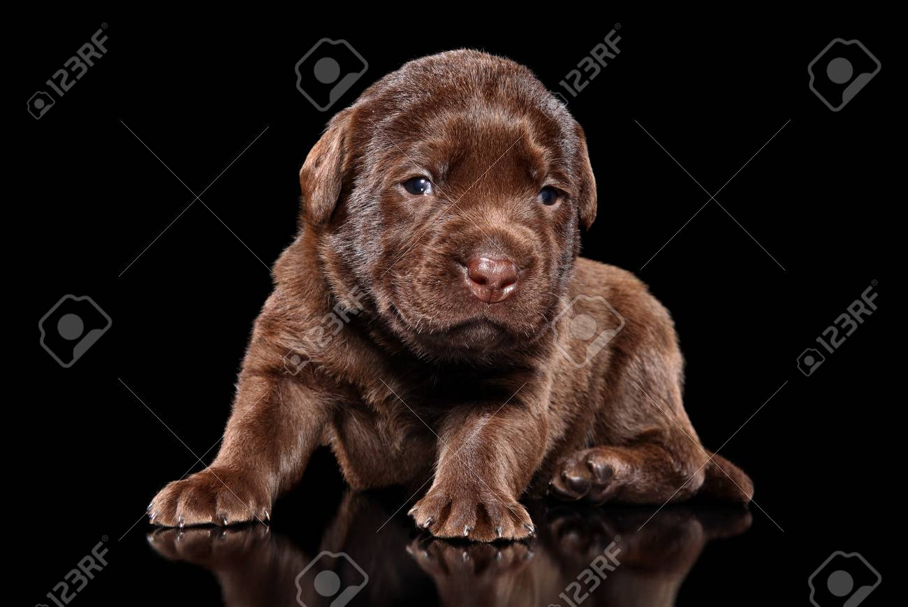 Portrait Of A Chocolate Labrador Retriver Puppy On Black Background Stock Photo Picture And Royalty Free Image Image 112604245