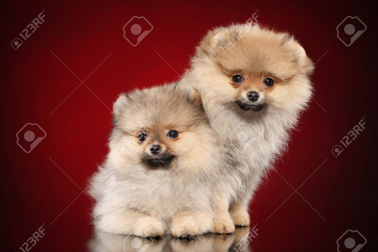 Pomeranian Puppies On A Red Background Stock Photo Picture And