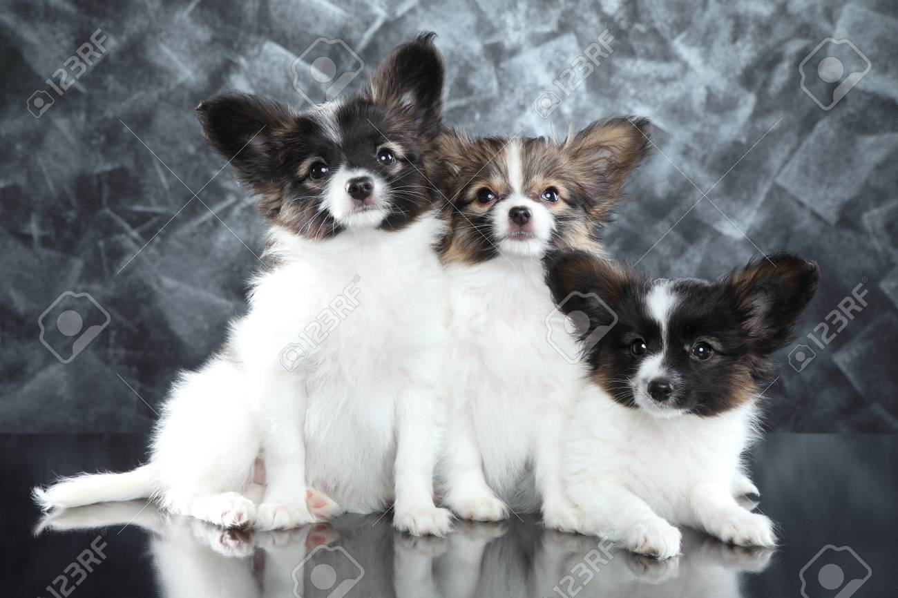 Group Of Papillon Puppies On Gray Background Baby Animal Theme