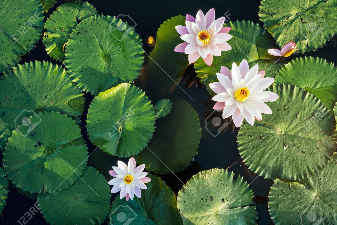 Lotus flower and leaf in pond water surface top view outdoor stock lotus flower and leaf in pond water surface top view outdoor sunlight stock photo 73017881 izmirmasajfo
