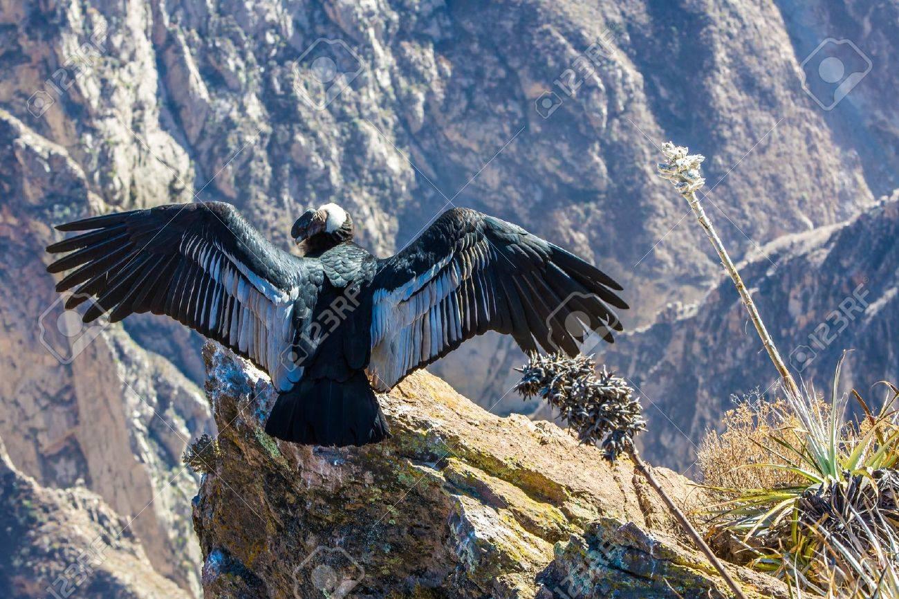 Condor Am Colca Canyon Sitzung Peru Südamerika Dies Ist Ein