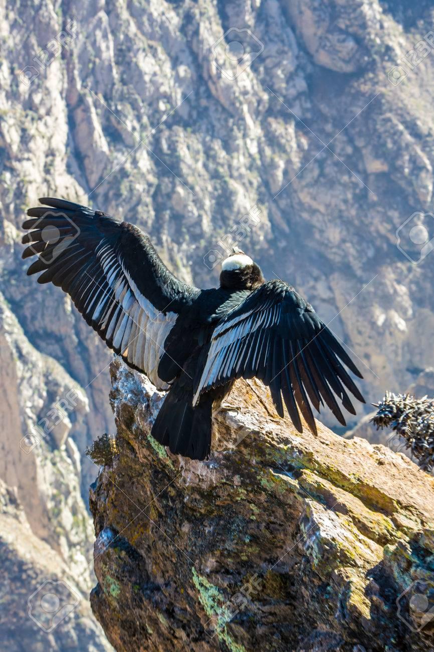 Condor Am Colca Canyon Sitz Peru Südamerika Dies Ist Ein Kondor