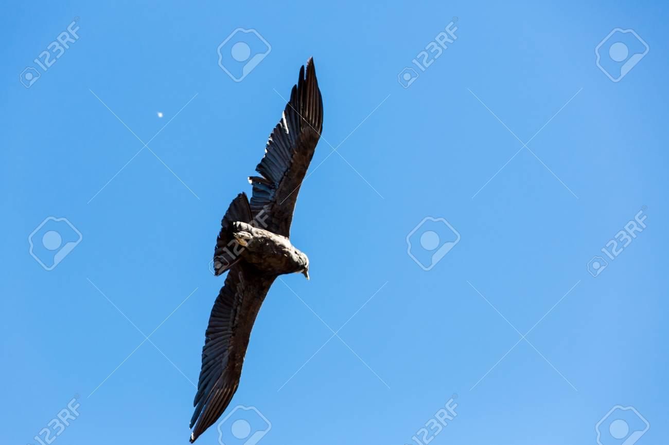 Flying Condor über Colca Canyon Peru Südamerika Dies Ist Ein