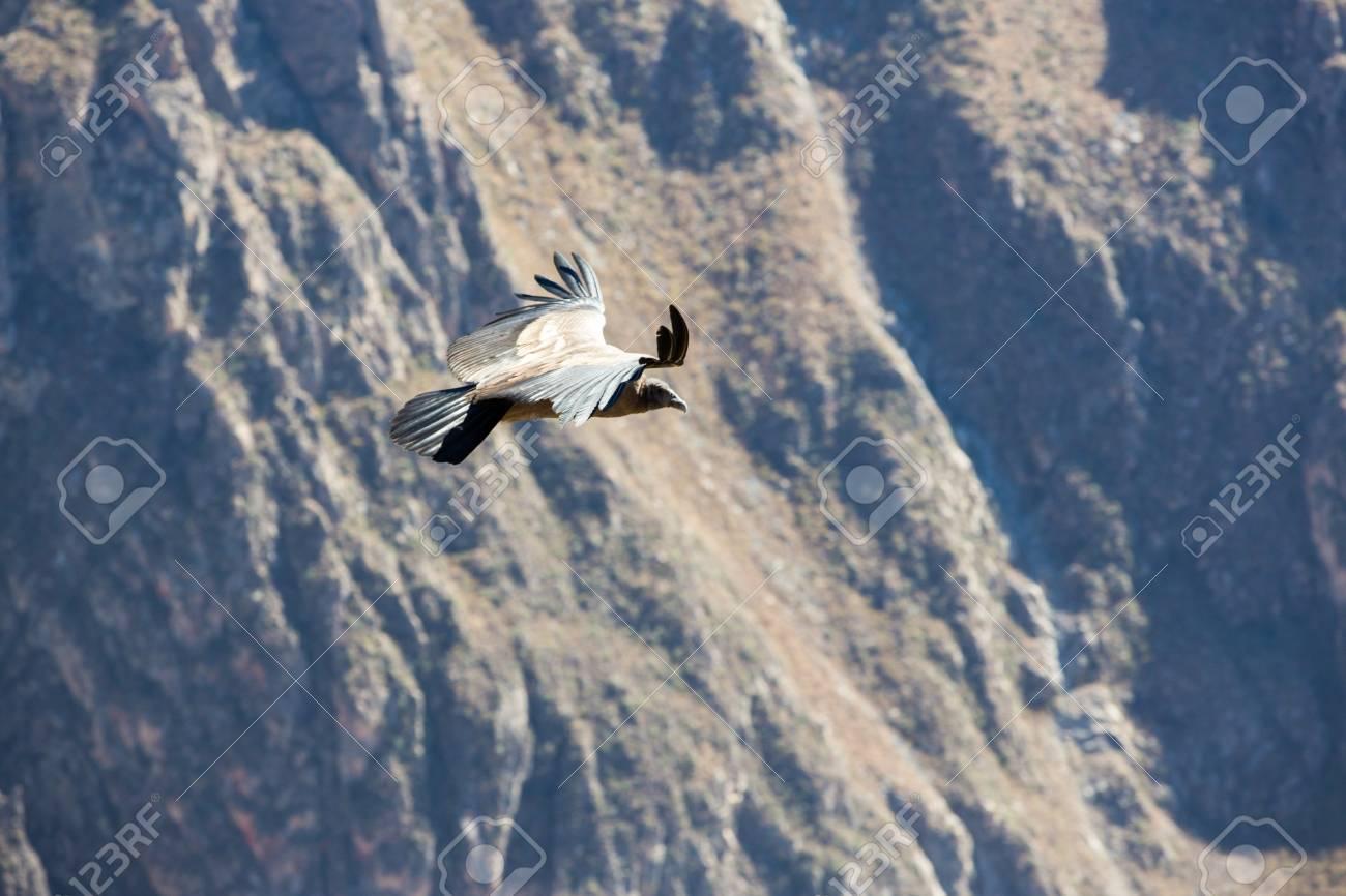 Fliegen Kondor über Colca Canyon Peru Südamerika Dies Ist Ein