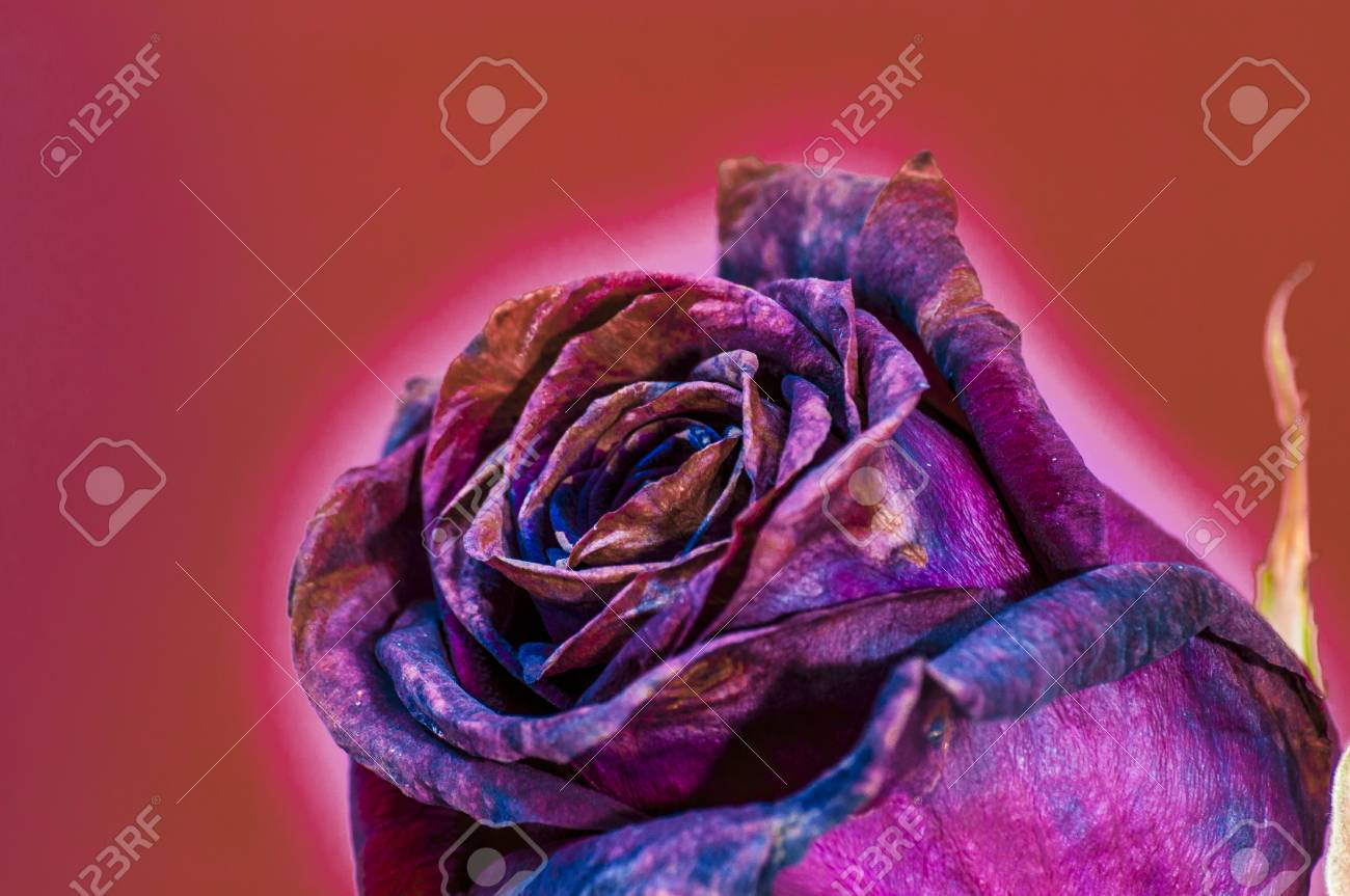 Three Roses Purple Color In The Foreground Stock Photo, Picture And ...