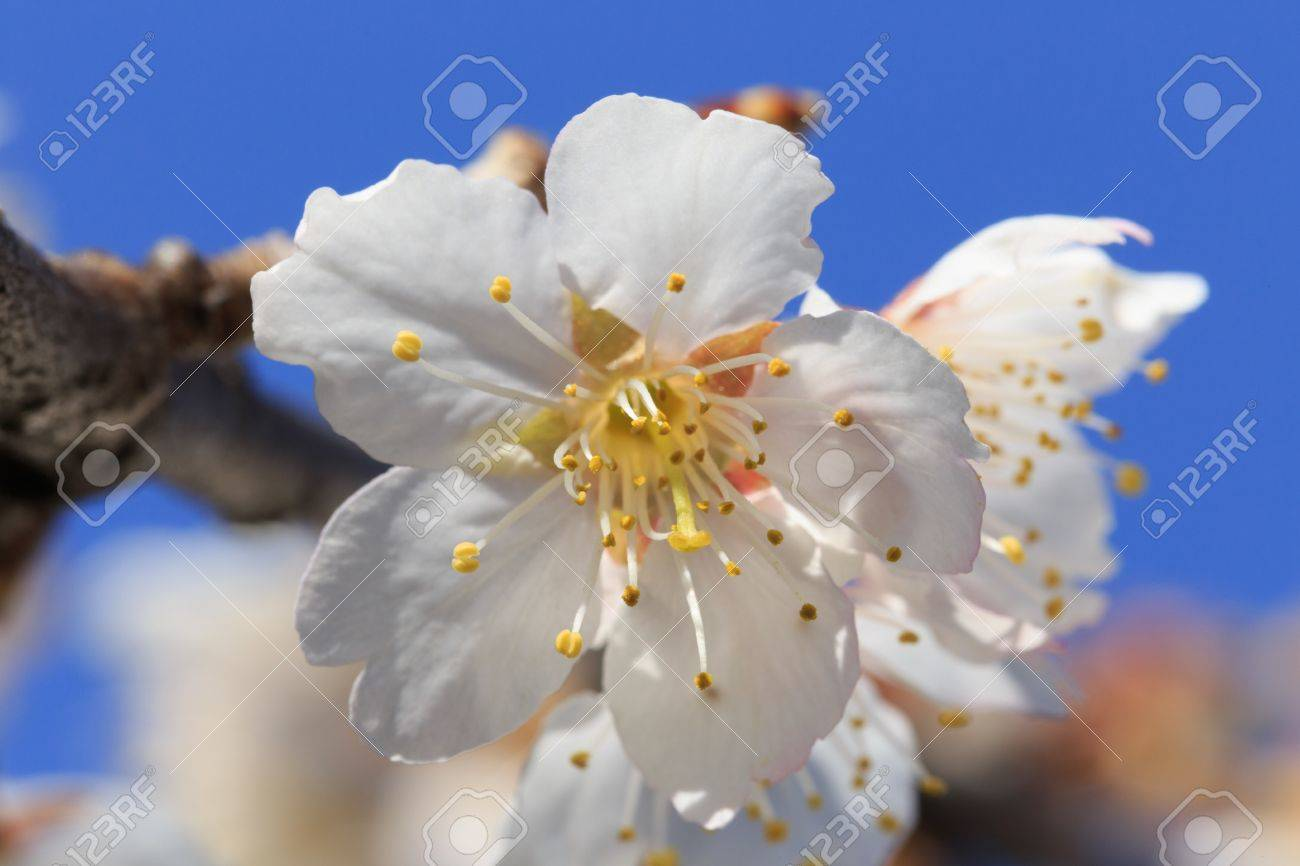 Sakura Is The Common Name Used To Refer To The National Flower