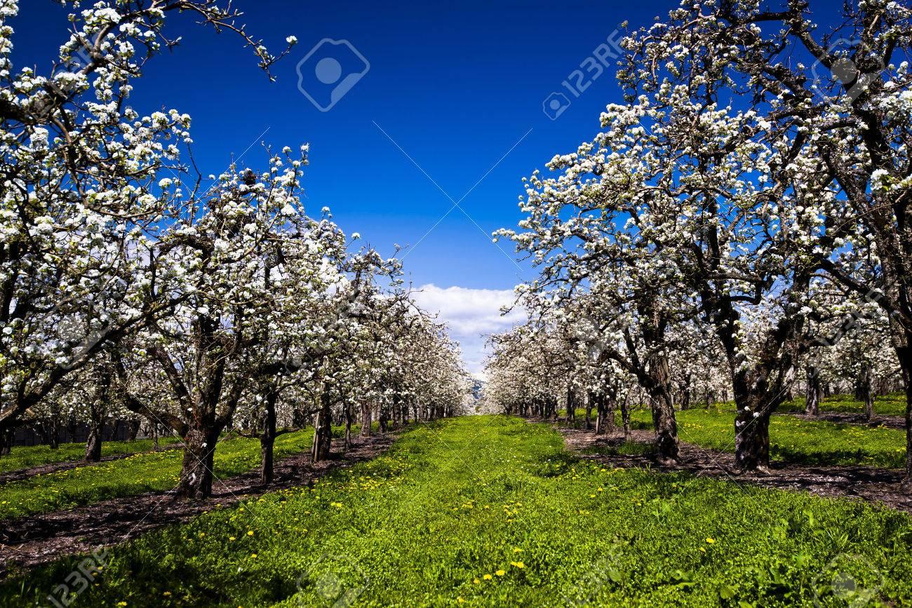 Amazingly Beautiful Plantation White Flowering Fruit Trees