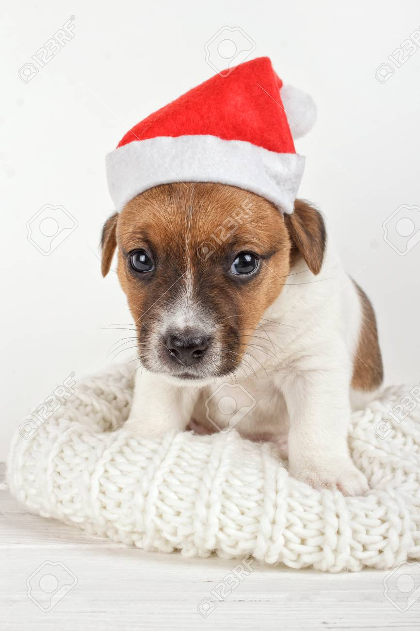 Small Dog Wearing Santa Hat Cute Sad Puppy Sitting On Soft Knitted Stock Photo Picture And Royalty Free Image Image 67204185