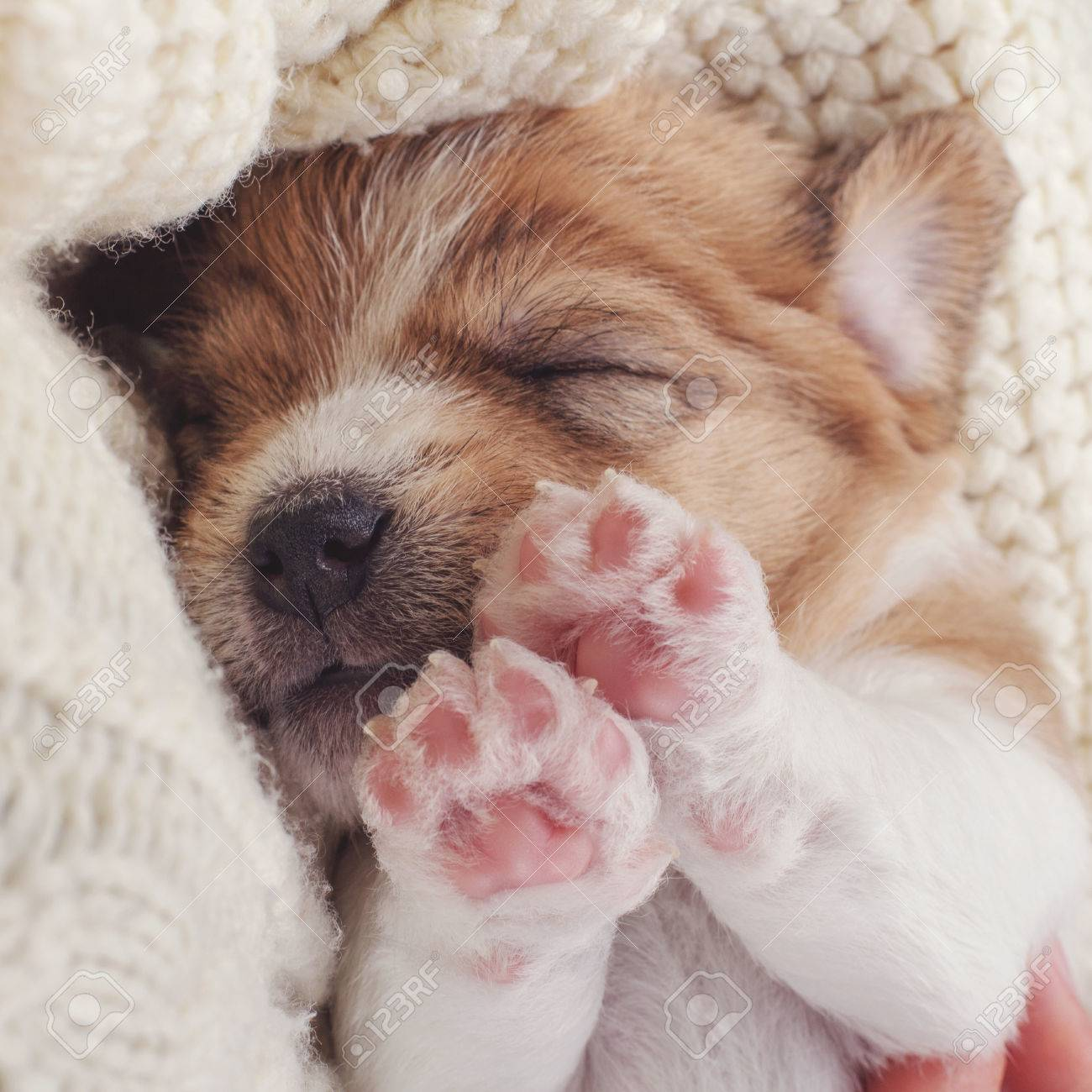 Baby Dog Sleeping Sweet Cute Puppy Asleep On Soft Cozy Wool Stock Photo Picture And Royalty Free Image Image 69660903