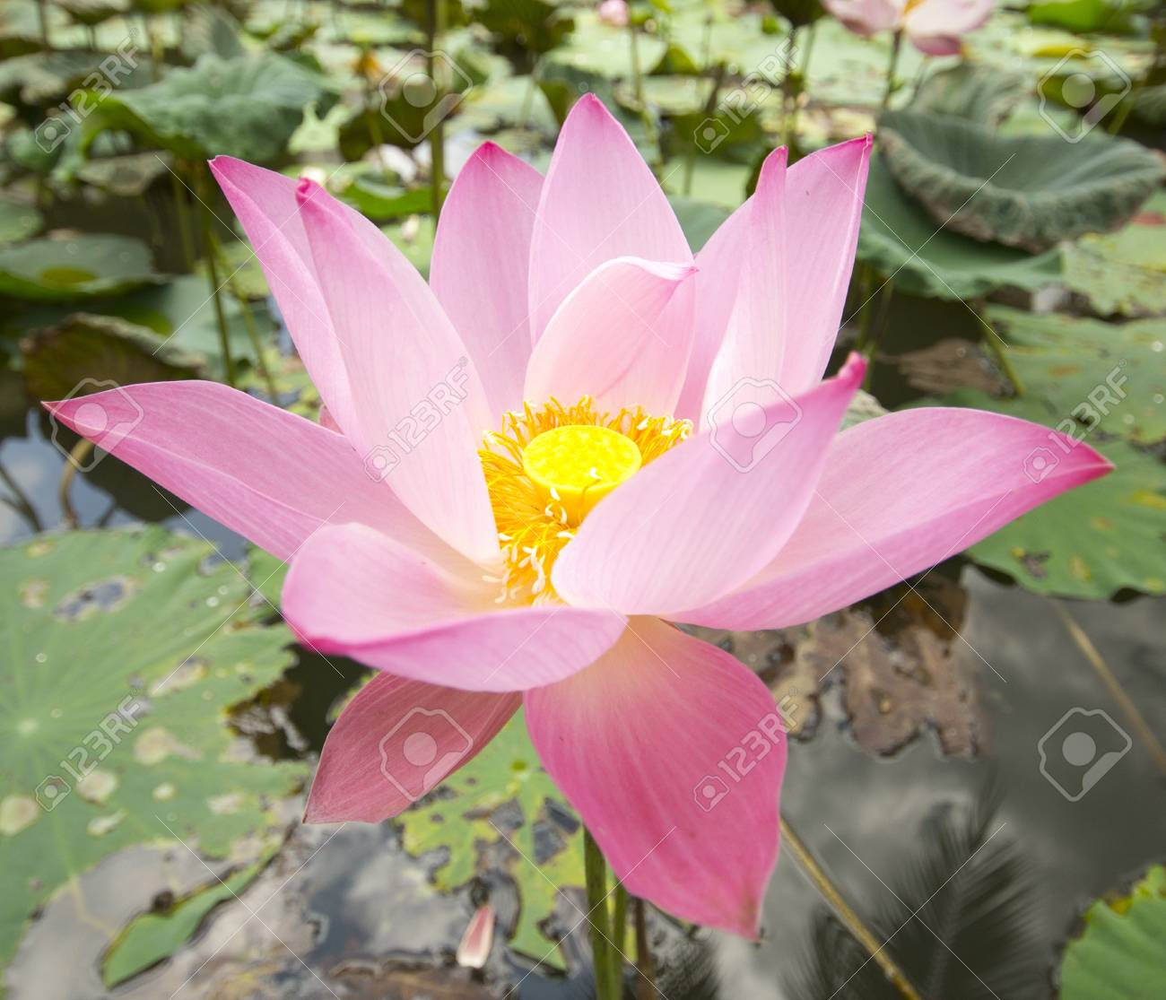 Closeup A Blooming Pink Lotus Flower With Yellow Seed Head Stock