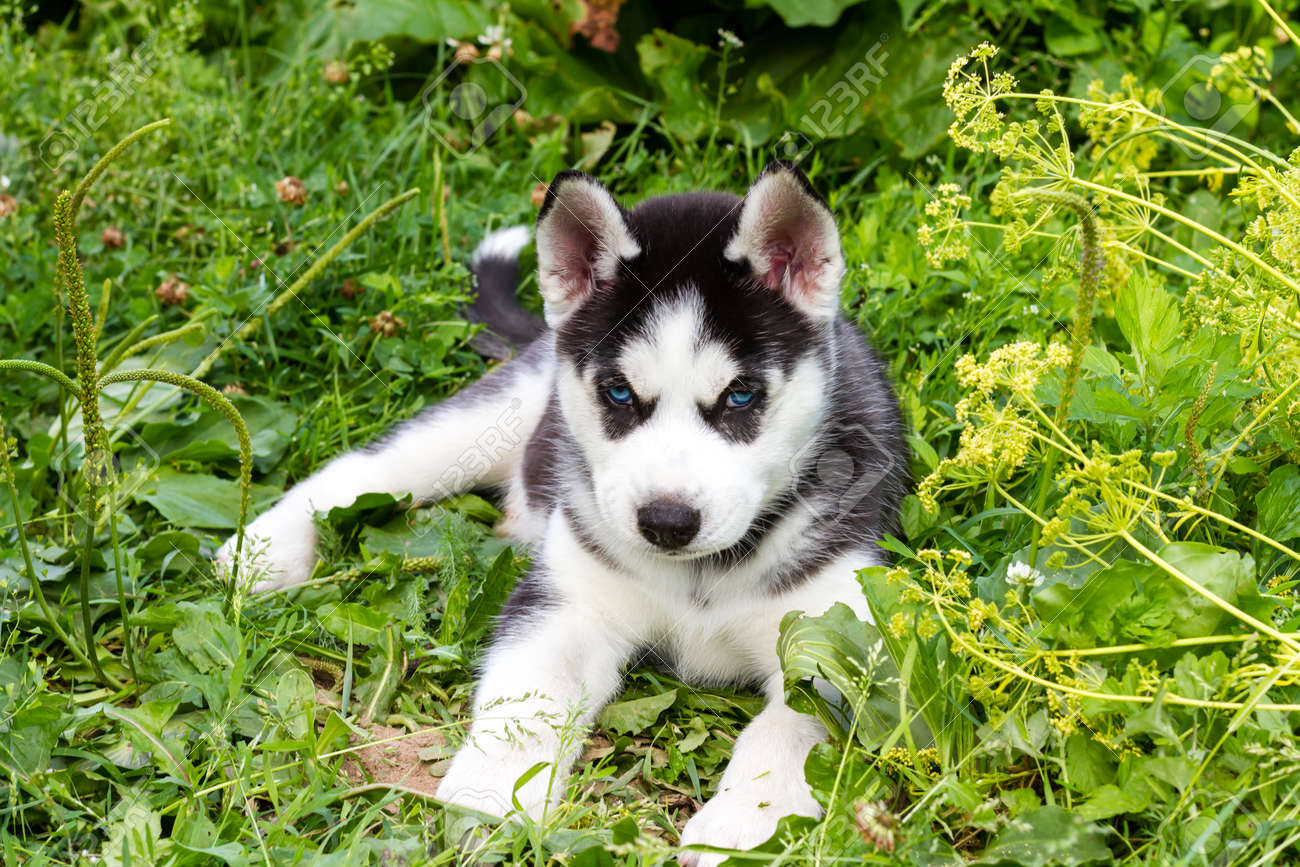 Husky puppy with blue eyes lying on the green grass. - 157202684