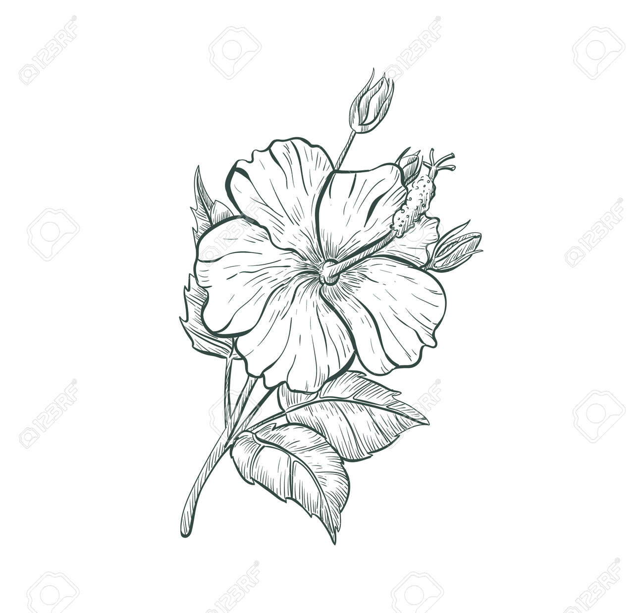 Sketch Hibiscus flower, isolated flower retro sign. Tropical flower Hibiscus - 164650181