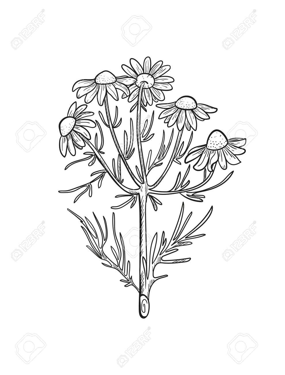 Vector chamomile sketch. Matricaria chamomilla medicinal plant hand drawn illustration. - 167208073