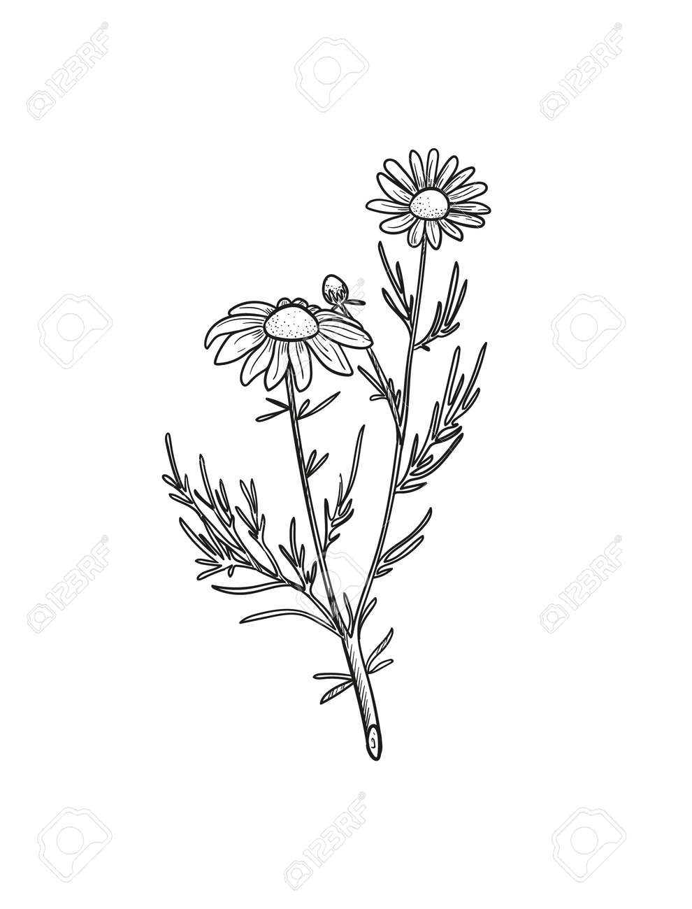 Vector Chamomile sketch. Botanical engraved art daisy flowers. - 167208075