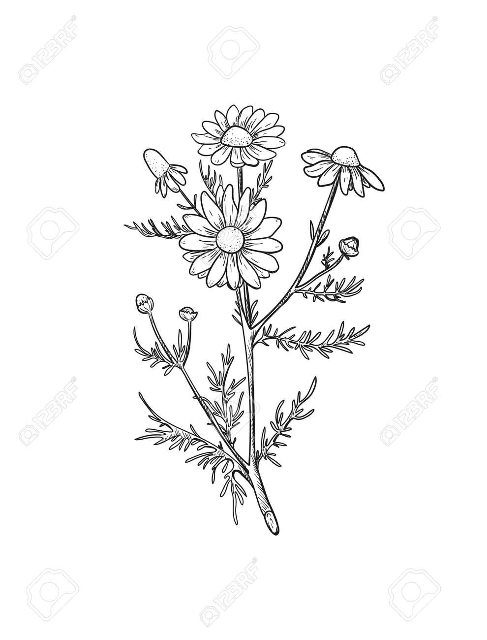 Vector Chamomile sketch. Botanical engraved art daisy flowers. Matricaria chamomilla medicinal plant hand drawn illustration. - 170385220