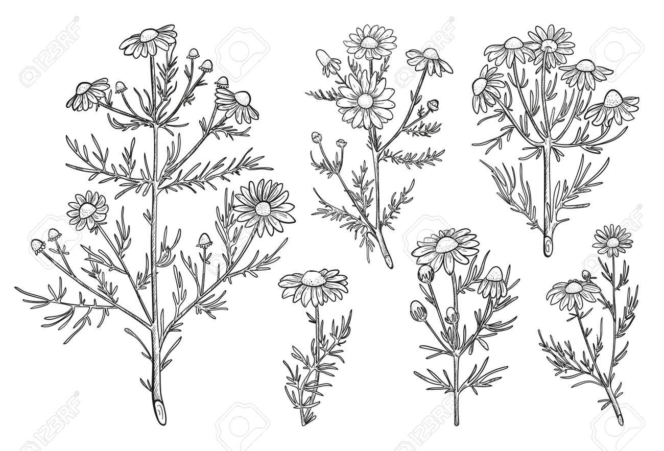Chamomile vector set in line sketch style. Hand drawn Chamomile flowers elements for nature label. Chamomile medicinal plant - 170385219