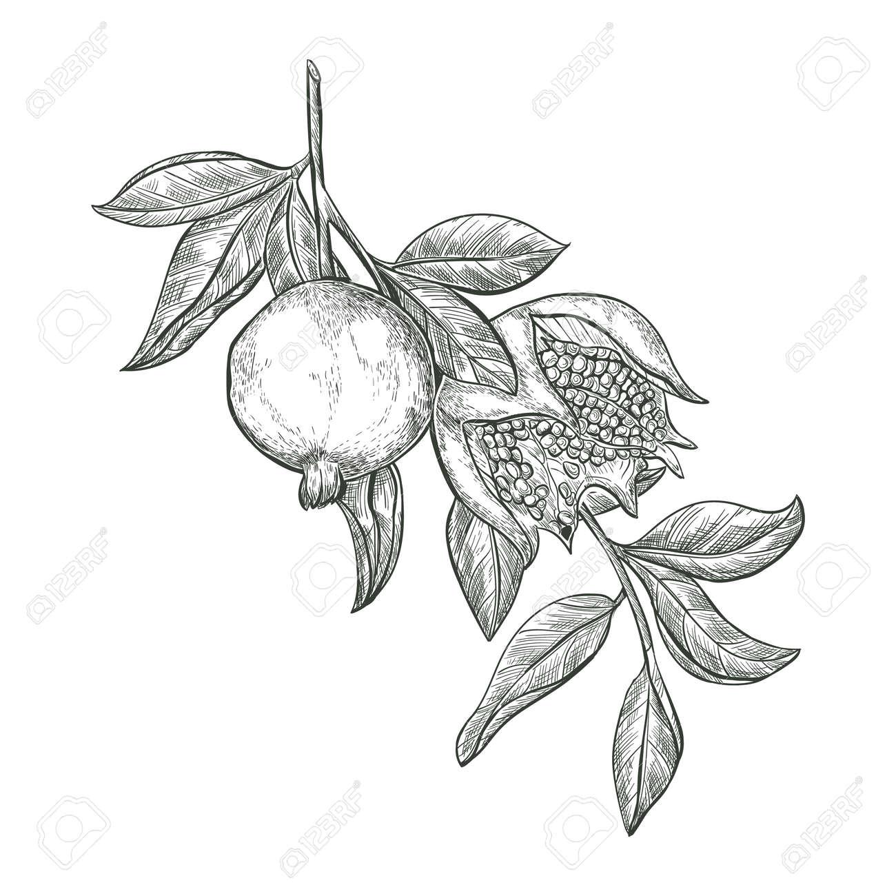 Sketch Pomegranate fruits on a branch, isolated engraved sign. Garnet ripe fruit vector sketch illustration. - 167184722