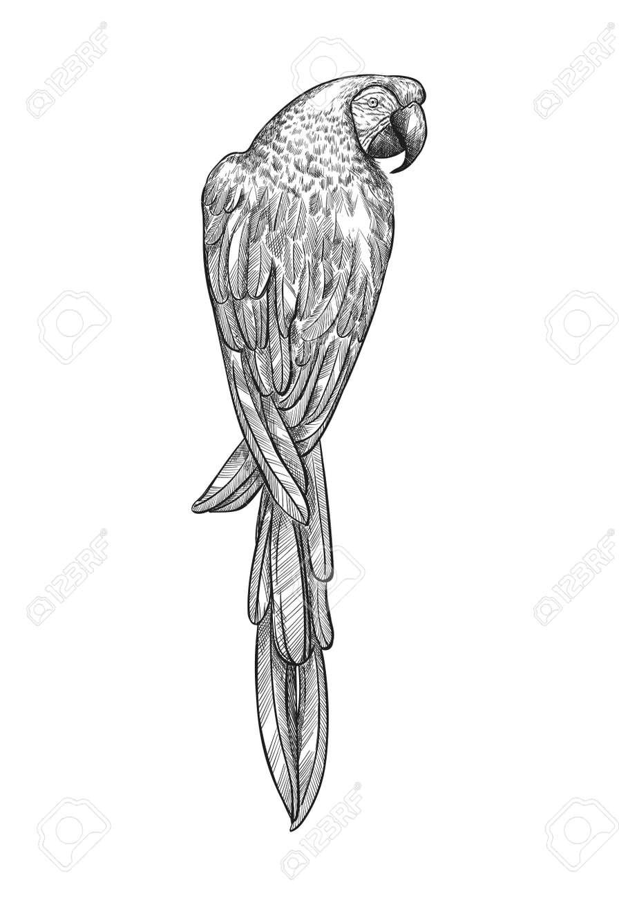 Sketch tropical parrot macaw vector illustration. Ara parrot exotic bird engraving art design. - 170385235