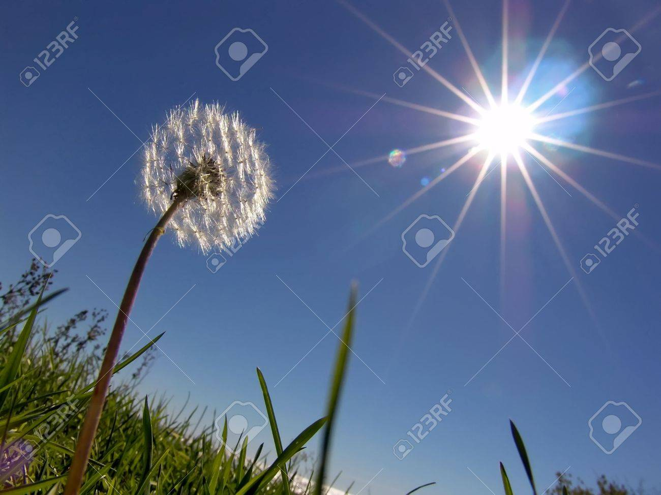 Dandelion on sundown sun - 2745311