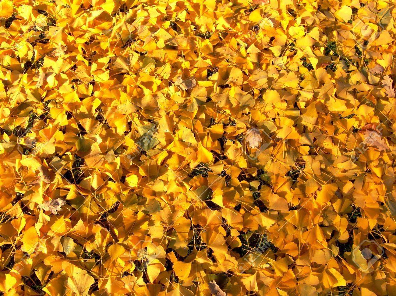 Bright yellow autumn leaves background. Fall time. - 5426249