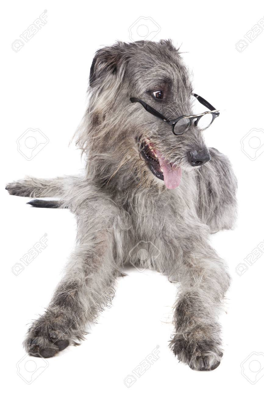 Irish Wolfhound In Glasses On A White Background In Studio Stock