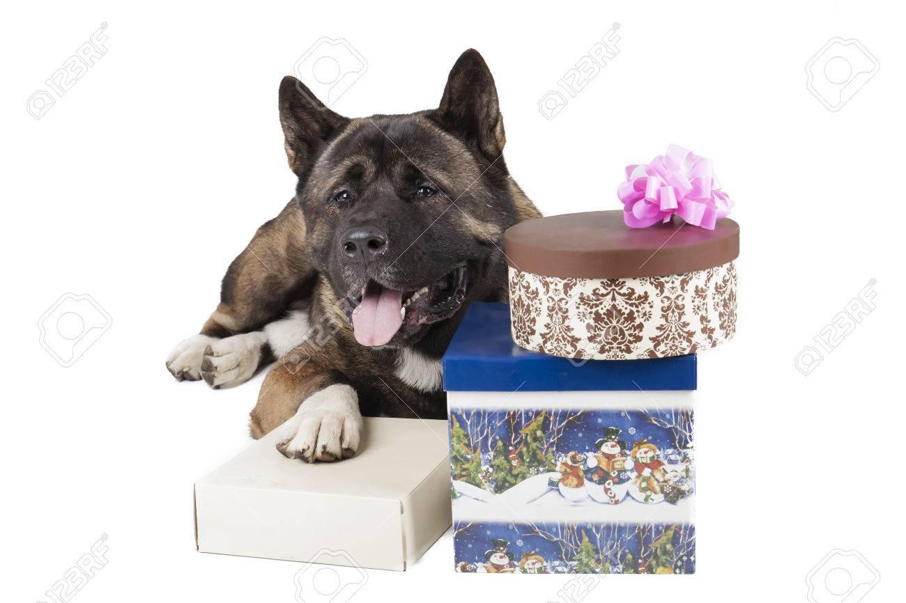 American Akita dog with Christmas gifts Stock Photo - 23320008