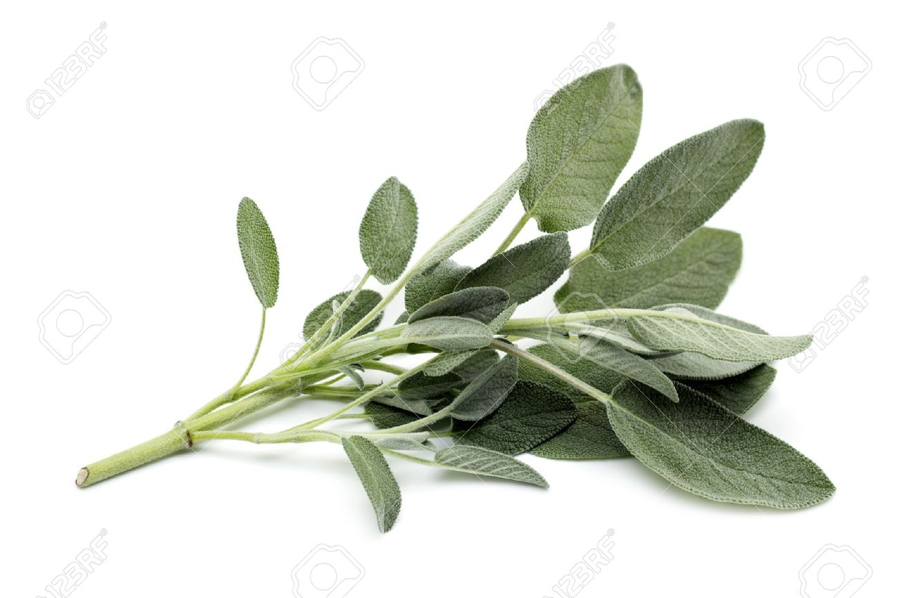 Sage Illustration sage leaves sprig of sage on