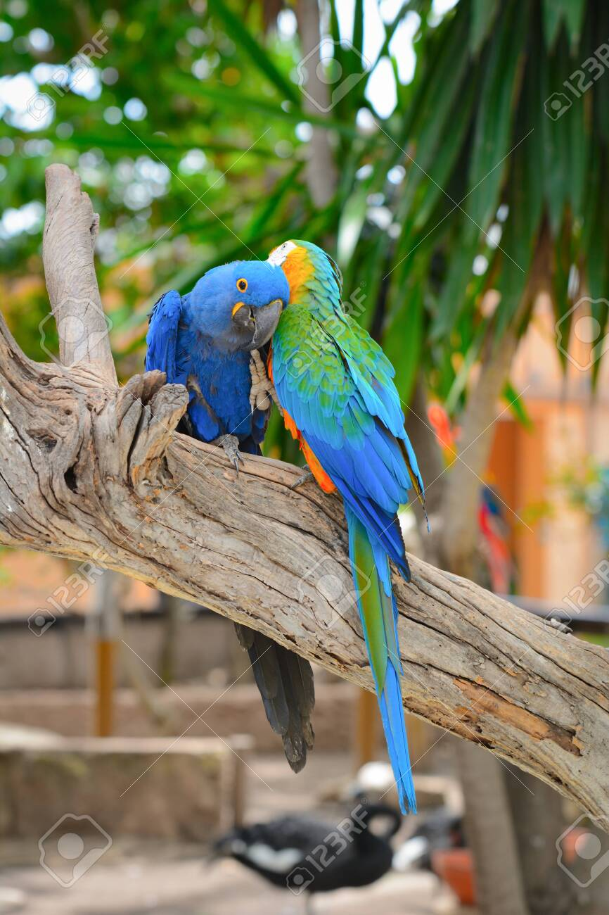 Blue Parrots Colorful Birds Sitting On The Branch Stock Photo Picture And Royalty Free Image Image 128712851