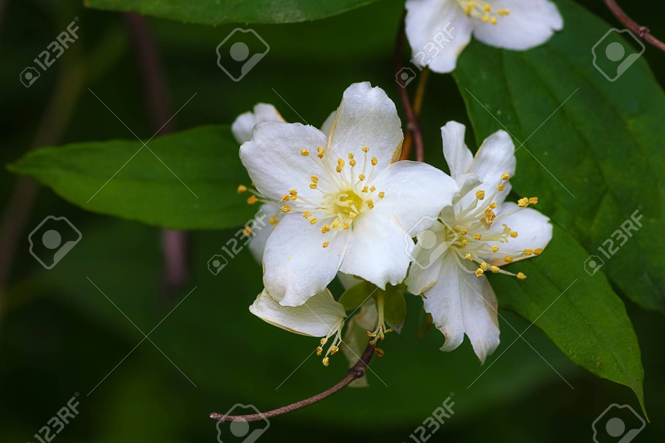 White flowers jasmine stock photo picture and royalty free image stock photo white flowers jasmine izmirmasajfo