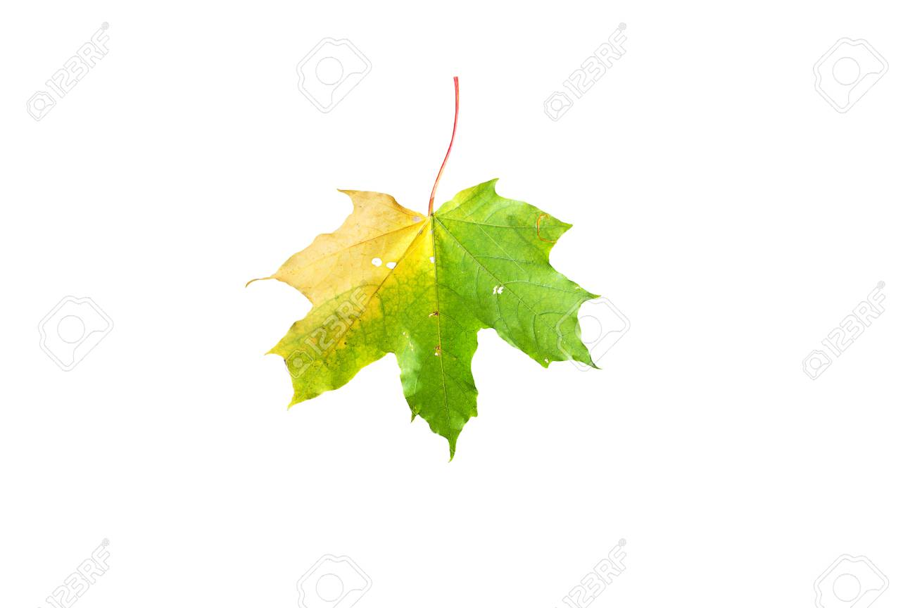 Autumn Maple Leaf, Fallen From A Tree, Color Yellow, Green, Red ...