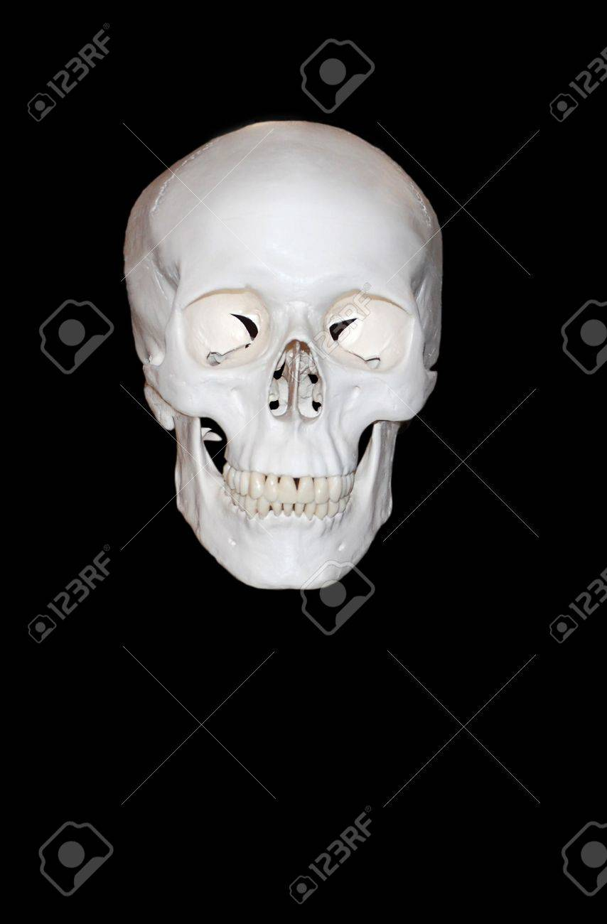 Educational model of a skull of the person, - 2673400
