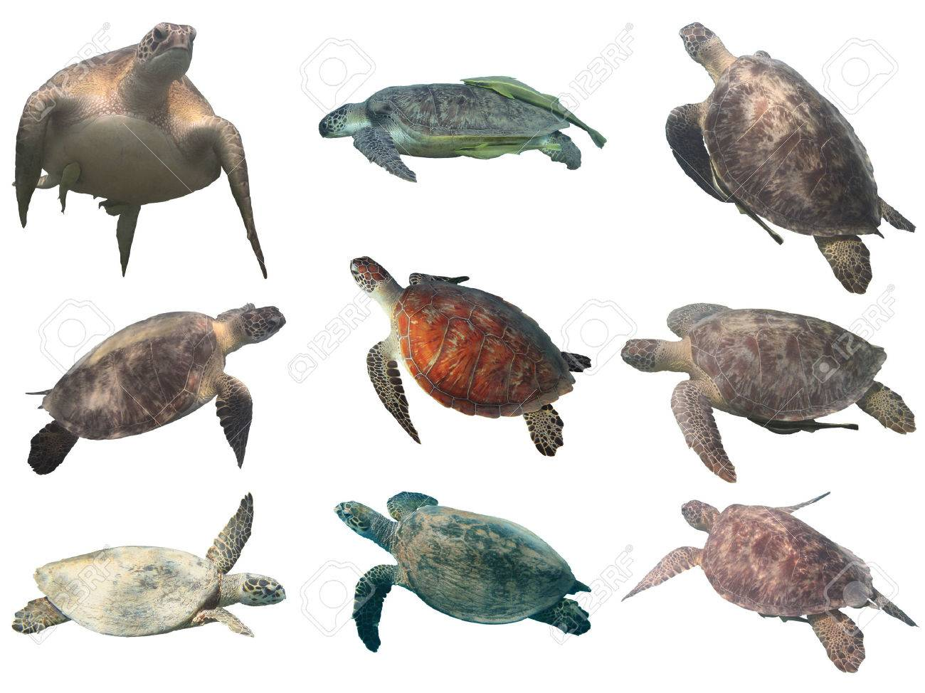 Colección De Tortugas Marinas (verde Y Carey) Aislado En Fondo ...