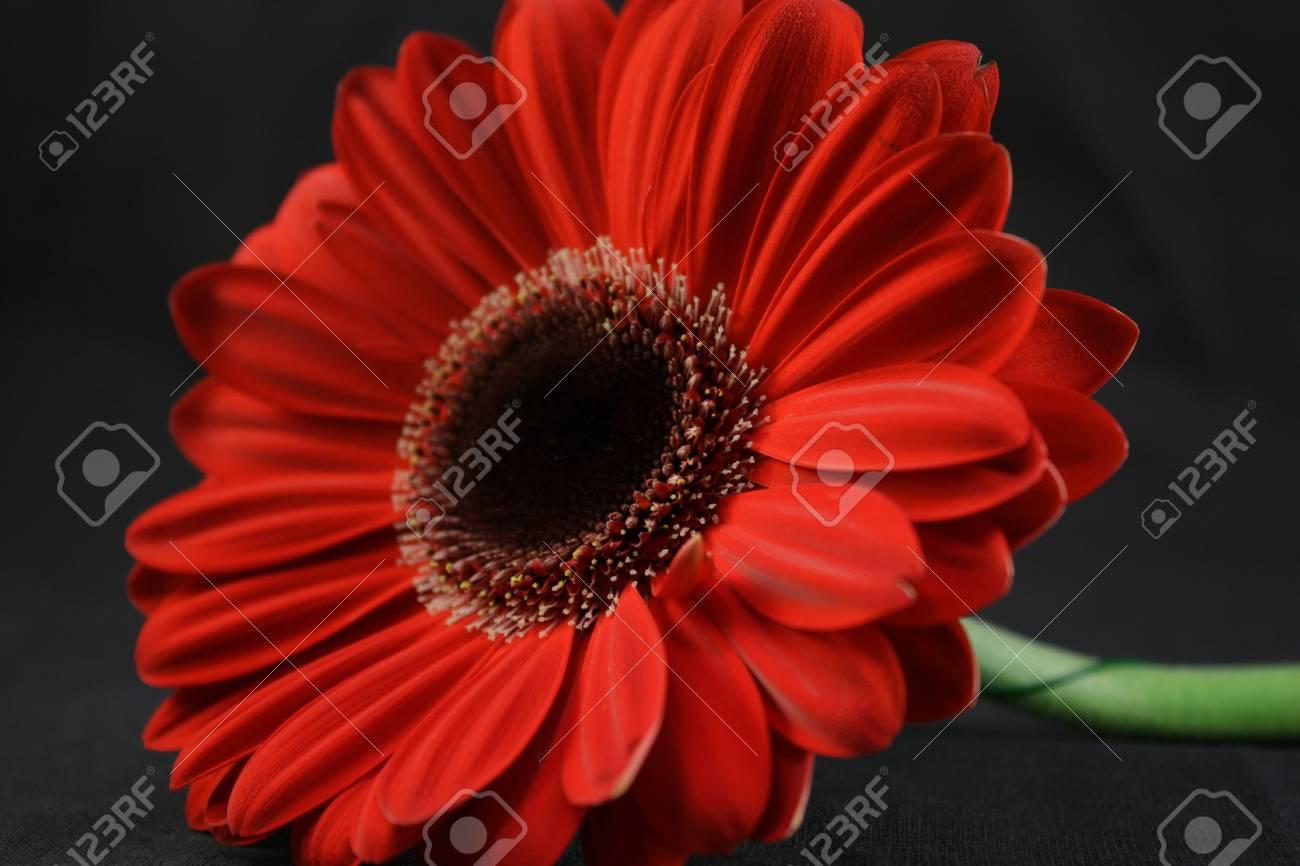Magnifique Fleur Rouge Sur Le Fond Noir Banque D Images Et Photos