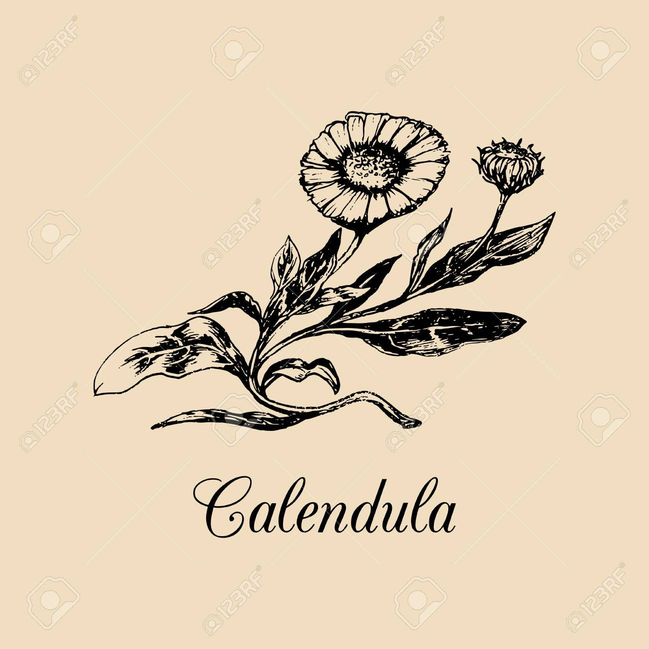 Illustration De Calendula Vectorielle Avec Des Fleurs Croquis