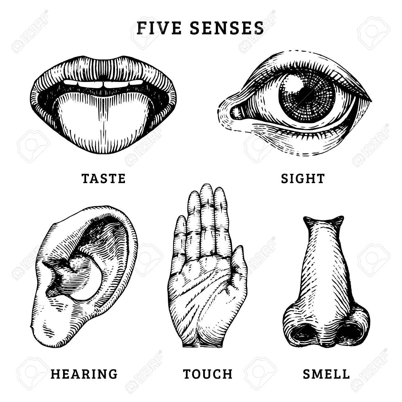 Icons set of five human senses in engraved style. Vector illustration of sensory organs - 97359009