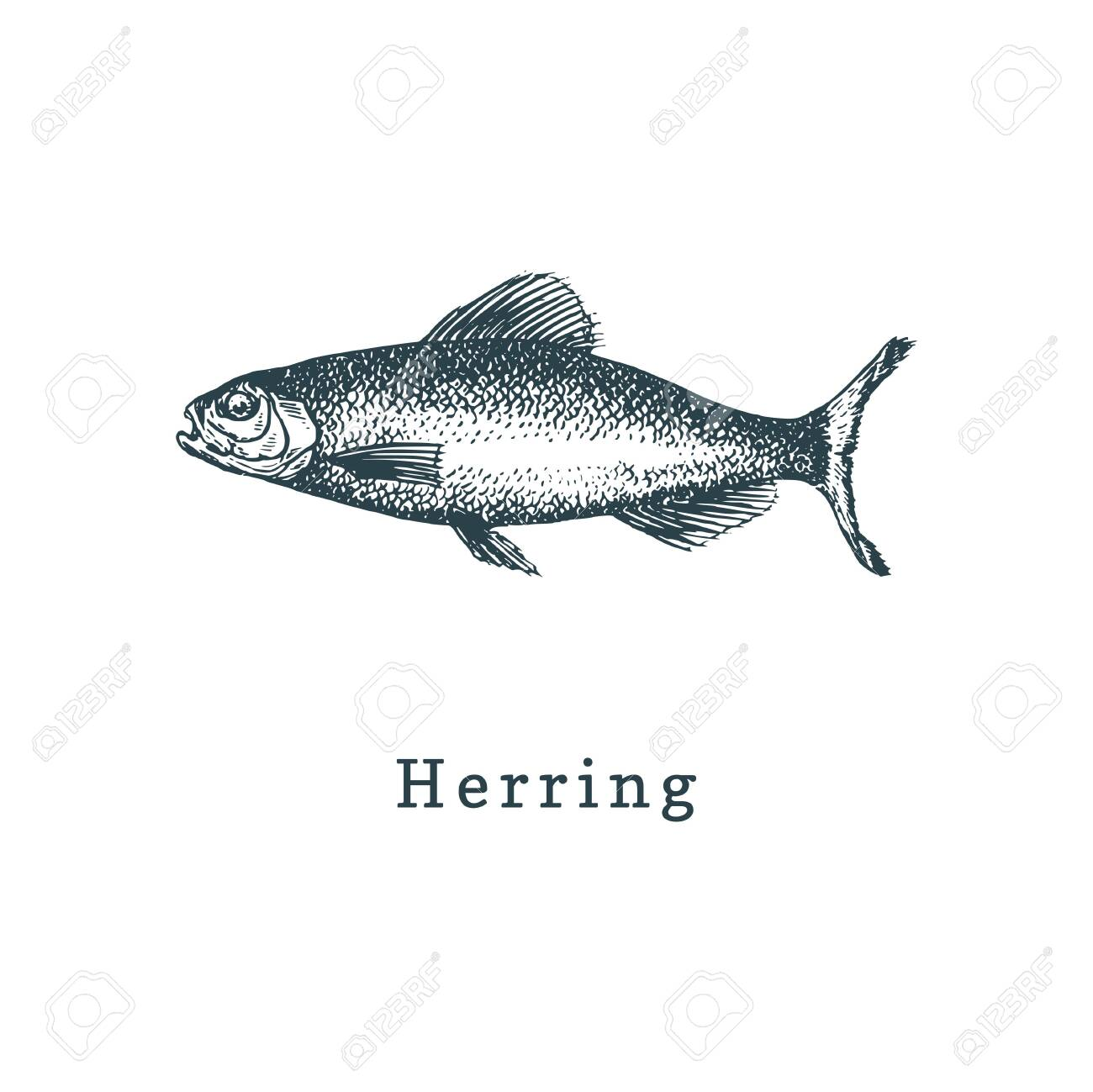 Illustration Of Herring Fish Sketch In Vector Drawn Seafood